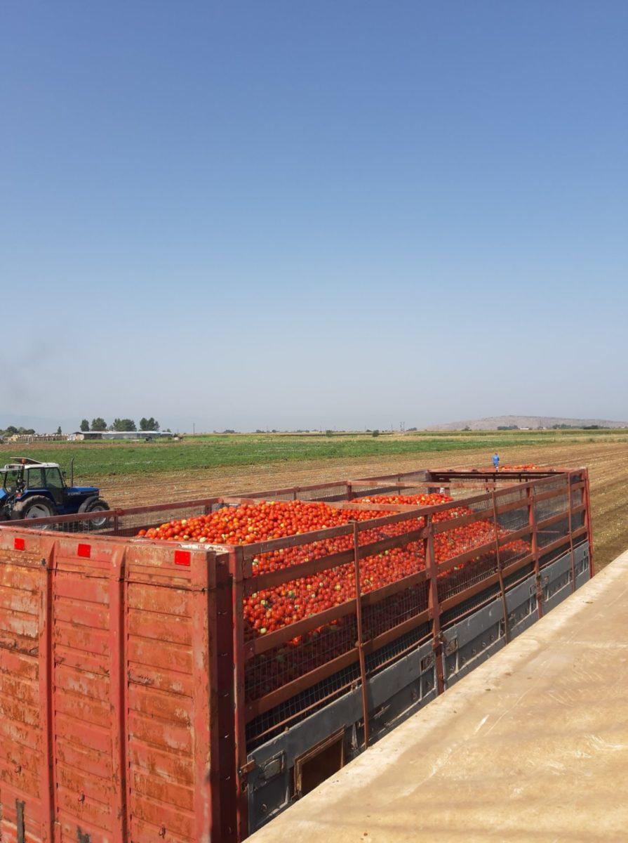 Photo of Ξεκίνησε το πρώτο στάδιο συγκομιδής της βιομηχανικής ντομάτας