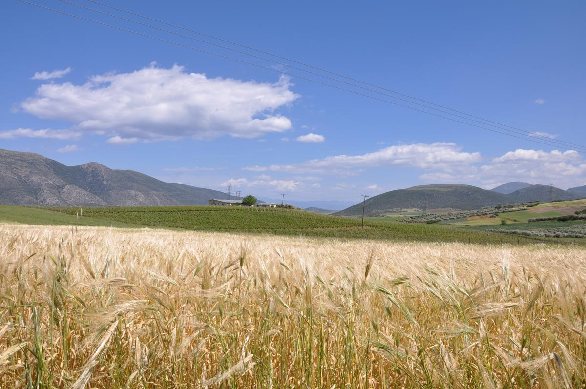 "Photo of ""Κιτρινίζουν"" χιλιάδες στρέμματα της Θεσσαλίας"