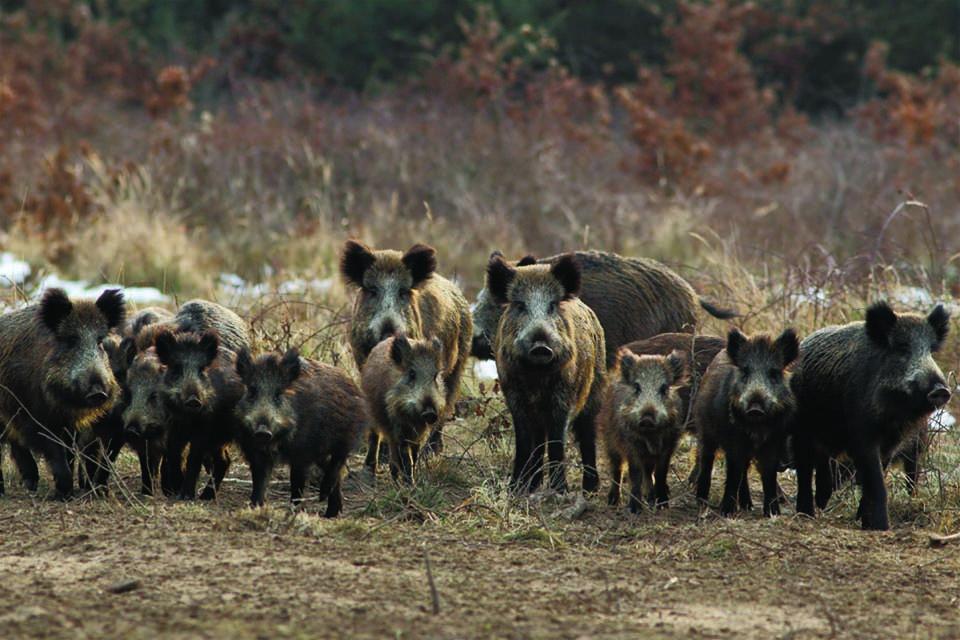 """Photo of """"Επίθεση"""" αγέλης αγριόχοιρων σε χωράφια της Επαρχίας – Σε απόγνωση οι απροστάτευτοι οι αγρότες (Pics)"""